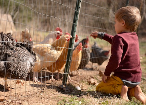gallery/_est8468. happy chicken boy